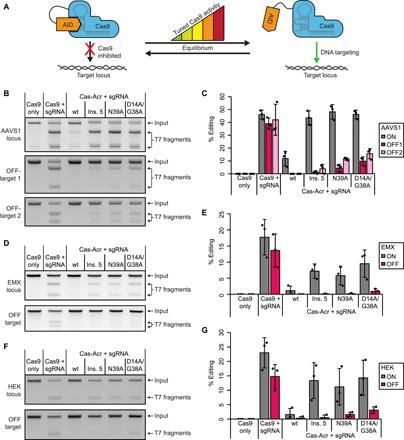 Cas-Acr fusion design improves genome editing specificity. ( A ) Schematic of Cas-Acr constructs comprising Cas9 fused to an artificially weakened AcrIIA4 variant functioning as autoinhibitory domain (AID). ( B to G ) Cells were cotransfected with plasmids encoding the indicated Cas-Acr variant and an sgRNA targeting the AAVS1 (B and C), EMX1 (D and E), and HEK (F and G) locus and incubated for 72 hours followed by T7 endonuclease assay. Representative gel images (B, D, and F) and corresponding quantification of InDel frequencies (C, E, and G). Data are means ± SD; dots are individual data points from n = 3 independent experiments. Ins. 5, insertion variant 5 (see table S2); wt, Cas9 fused to wild-type AcrIIA4.