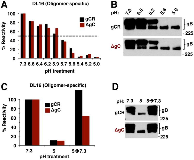 """Low-pH-induced changes in gB oligomer are independent of gC, as is the reversibility of those changes. (A) HSV-1 gCR or ΔgC was treated with a range of pHs for 10 min. Samples were directly blotted to nitrocellulose and probed at neutral pH with gB oligomer-specific MAb DL16. Reactivity was quantitated, and the level seen with the pH 7.3 sample was set as 100%. (B) HSV-1 gCR or ΔgC was treated with a range of pHs for 10 min. SDS (1%) was added, and reactions were added to """"native"""" PAGE sample buffer. Unheated samples were resolved by 8% SDS-PAGE and Western blot for HSV-1 gB. (C) HSV-1 gCR or ΔgC was treated with pH 5 for 10 min and then blotted directly to nitrocellulose or first neutralized back to pH 7.3 for 10 min and then blotted. Blots were probed at neutral pH with anti-gB MAb DL16. (D) HSV-1 gCR or ΔgC was treated with pH 5 for 10 min. One set of samples was neutralized back to pH 7.3. SDS (1%) was added, and samples were processed as described for panel B. Molecular size markers are indicated in kilodaltons at the right. Data shown are representative of results from at least two independent experiments."""