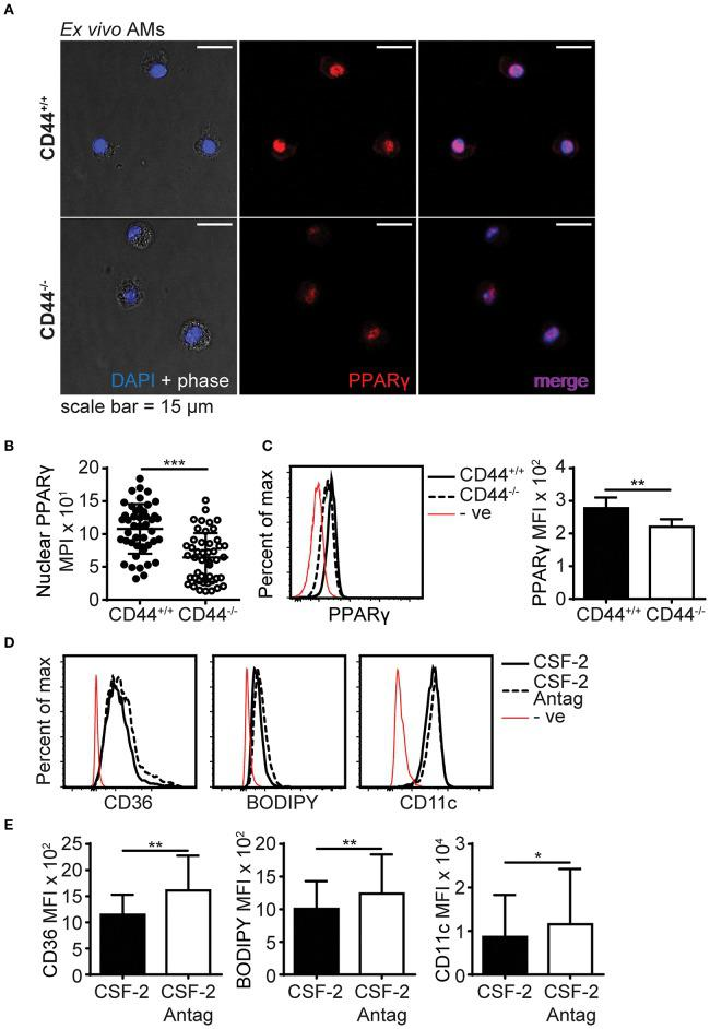 PPARγ expression is defective in CD44 −/− AMs. (A) Representative confocal microscopy showing CD44 +/+ and CD44 −/− AMs labeled with intracellular PPARγ antibody and DAPI. (B) Comparison of nuclear PPARγ mean pixel intensity (MPI) between CD44 +/+ and CD44 −/− AMs, determined by confocal microscopy. (C) Representative flow cytometry histograms and graphs comparing intracellular PPARγ expression between CD44 +/+ and CD44 −/− AMs. (D,E) Representative flow cytometry histograms and graphs comparing the levels of CD36, BODIPY and CD11c levels by MFI (after subtraction of background autofluorescence) in CD44 +/+ AMs cultured with CSF-2 or CSF-2 and the PPARγ antagonist T0070907 (Antag) for 48 h in culture. Data show an average of three to five mice from each experiment ± SD, repeated twice or three times; for confocal imaging three to four fields containing cells were analyzed per mice. Significance indicated as * p