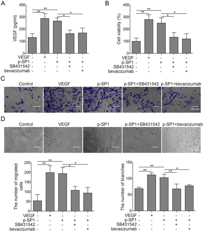 SP1/TGF-β1/SMAD2 pathway promotes preosteoblast angiogenesis through regulating VEGF expression. (A-D) MC3T3-E1 cells were transfected with p-SP1 overexpression vector and treated with VEGF, SB431542, or bevacizumab in different combinations as indicated and co-cultured with HUVECs. (A) The VEGF concentration in the supernatants was detected by ELISA 24 h post-treatment. (B) Cell viability was detected using an MTT assay. (C) Migratory ability of these cells was detected using a Transwell assay. Representative micrographs of HUVECs under each treatment condition are provided. Scale bar=100 µm. (D) The ability to undergo angiogenesis was determined using an angiogenesis assay. Representative micrographs of HUVECs under each treatment condition are provided. Data are presented as the mean ± SD. *P