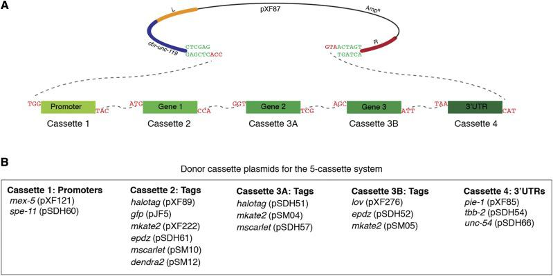 SapTrap assembly of MosSCI targeting vectors using the five-cassette system. A. Schematic of pXF87 and the donor cassettes following SapI digestion. The dotted lines indicate the overhangs that anneal during ligation. B. Summary of available promoter, gene tag and 3′UTR donor cassette plasmids for the five-cassette system.
