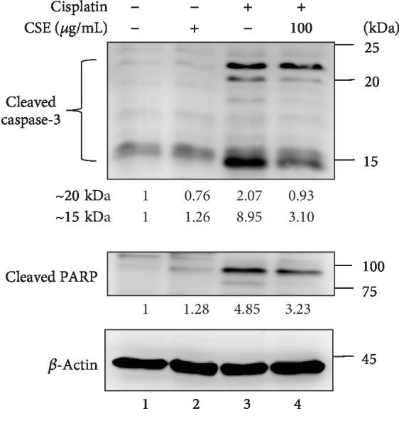 CSE diminishes cisplatin-induced caspase-3 and PARP activation. HL-60 cells were treated with CSE (100 μ g/mL) and/or cisplatin (4 μ M) for 48 h. Whole cell lysates were collected and subject to western blot analysis for the indicated proteins. Representative images were shown for cleaved caspase-3 and cleaved PARP. β -Actin was used as an internal control. Quantification of blots was performed by using ImageJ, and the fold changes to untreated controls are presented.