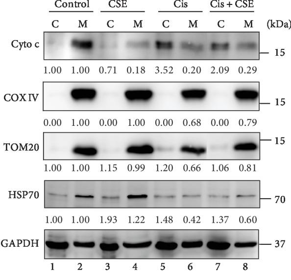 CSE alleviates cisplatin-elicited mitochondrial damage. HL-60 cells were treated with CSE (100 μ g/mL) and/or cisplatin (4 μ M) for 48 h. The expression levels of cytochrome c, TOM20, COX IV, and HSP70 were examined in the cytosolic and mitochondrial fractions by western blot analysis. GAPDH was used as an internal control. Quantification of blots was performed by using ImageJ, and the fold changes to untreated control are presented. C: cytosolic fraction; M: mitochondrial fraction.
