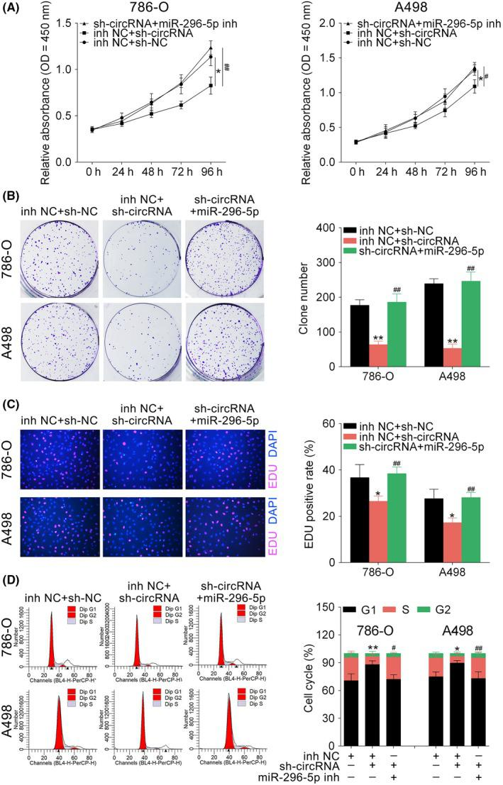 Hsa_circ_001895 knockdown inhibited clear cell renal cell carcinoma (ccRCC) proliferation by sponging microRNA (miR)‐296‐5p. A, Influence of hsa_circ_001895 and miR‐296‐5p on cell viability of 786‐O and A498 cells detected by CCK‐8. B, Influence of hsa_circ_001895 and miR‐296‐5p on cell proliferation of 786‐O and A498 cells detected by colony formation assay. C, Influence of hsa_circ_001895 and miR‐296‐5p on cell proliferation of 786‐O and A498 cells detected by 5‐ethynyl‐2′‐deoxyuridine (EdU) staining assay. D, Influence of hsa_circ_001895 and miR‐296‐5p on cell cycle of 786‐O and A498 cells detected by flow cytometry. *, **sh‐hsa_circ_001895 + inh NC vs sh‐NC + inh NC, P