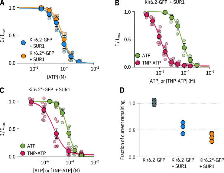 Kir6.2*-GFP is functionally similar to Kir6.2-GFP. A. Concentration-response curve for ATP inhibition of Kir6.2-GFP + SUR1 or Kir6.2*-GFP + SUR1, measured in excised, inside-out patches. The smooth curves are descriptive Hill fits to the data. Kir6.2-GFP + SUR1: I C 50 = 62.7 μ M , h = 1.28 , I m  a  x = 0.99 , n = 3; Kir6.2*-GFP + SUR1: I C 50 = 79.5 μ M , h = 1.42 , I m  a  x = 1.00 , n = 4. ( B, C ) Concentration-response relationships for current inhibition in excised, inside-out patches expressing Kir6.2-GFP + SUR1 ( C ) or Kir6.2*-GFP + SUR1 ( D ) exposed to either ATP or TNP-ATP. The smooth curves are descriptive Hill fits to the data. Kir6.2-GFP + SUR1 (TNP-ATP): I C 50 = 1.17 μ M , h = 1.14 , I m  a  x = 0.97 , n = 7, Kir6.2*-GFP + SUR1 (TNP-ATP): I C 50 = 6.23 μ M , h = 0.92 , I m  a  x = 0.96 , n = 9. Data and fits for inhibition of Kir6.2*-GFP + SUR1 by TNP-ATP are the same as in Figure 2 . ( D ) Fractional current inhibition by 100 µM tolbutamide measured in excised, inside-out patches. Data were normalised to the average current in control solution before and after tolbutamide exposure. Each data point represents an individual patch. Kir6.2-GFP without SUR1, n = 5; Kir6.2-GFP + SUR1, n = 3; Kir6.2*-GFP + SUR1, n = 4.