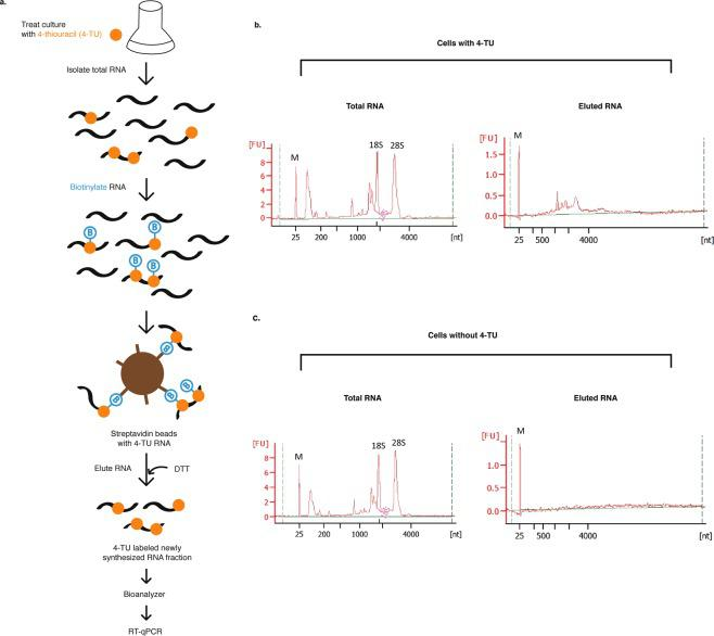 In vivo incorporation of 4-TU into RNA of P. tricornutum . ( a ) Schematic workflow of 4-TU labeling into RNA and detection. Bioanalyzer profiles of RNA fractions from cell cultures treated with 0.5 mM 4-TU ( b ) or 0.1% DMSO as solvent control ( c ) for 1.5 h. From each treated culture, total RNA represents the biotinylated RNA fraction and eluted RNA represents the newly synthesized RNA fraction. Equal masses of biotinylated RNA fractions were used to prepare the eluted RNA fractions.