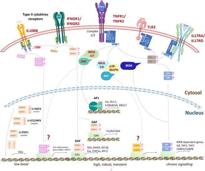 Pathways transcriptionally dysregulated in MGUS- and MM- HDNs. Our work showed that MM-HDNs had increased expression of IL10RB, IFNGR1/2, TNFR1/2, TLR2, IL17RA/D. While IFN-gamma can activate IFNGR1/2 and IL10 can bind IL10RB in response to unresolved chronic inflammation, to activate STAT1 and STAT3 and promote their nuclear translocation, LPS triggers TLR2, through an adaptor complex which recruits TRAF6 to activate the TAK1 kinase complex can then activate the IKK complex leading to NFkB activation. The increased expression of TNFR1/B and component of their adaptor complex ½ can recruit several transcription factors to amplify the cascade and warrant a robust response. The genes target CD64 and ARG1 are under the transcriptional control of STAT1 and STAT3, as previously reported for other professional phagocytes. The lack of IL17RC excludes that the IL17R complex could be active, but the ligand of the overexpressed IL17RD is still unknown.