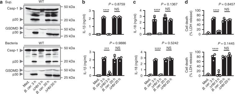 A secreted factor of B. cereus activates the inflammasome independently of HBL. a Immunoblot analysis of pro-caspase-1 (Casp-1), the active caspase-1 p20 subunit, pro-pyroptotic effector protein gasdermin D (GSDMD), the active GSDMD p30 subunit of WT BMDMs left untreated [Medium alone (Med.)] or LPS-primed and assessed either 3 h or 20 h after stimulation with the supernatant of WT B. cereus ( B. cer .) or Δ Hbl B. cereus (Δ Hbl ) (top; Supernatant (Sup.)) or infection with B. cer . or Δ Hbl (bottom; m.o.i. of 5). Release of IL-1β b , IL-18 c , and cell death d of BMDMs as treated in a . NS, not significant, *** P