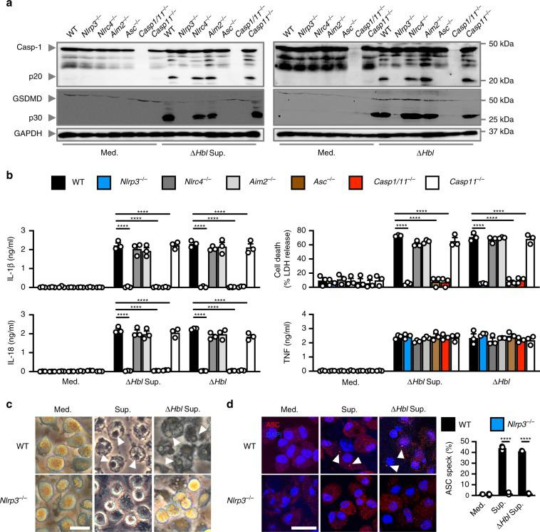 The secreted factor of B. cereus activates the NLRP3 inflammasome. a , Immunoblot analysis of caspase-1, gasdermin D, and GAPDH (loading control) in WT or mutant BMDMs left untreated or LPS-primed and assessed 20 h after stimulation with Δ Hbl supernatant, or after infection with Δ Hbl (m.o.i. of 5). b Release of IL-1β, IL-18, and TNF and death of BMDMs after treatment as in a . c Brightfield microscopy analysis of BMDMs 8 h after stimulation as in a . d Immunofluorescent analysis of ASC speck formation (red) in BMDMs after treatment as in a . Quantification of the prevalence of ASC specks is shown on the right as a percentage of total cells (DAPI). At least 200 cells from each genotype were assessed. Scale bar, 25 μm c , d . Arrowheads indicate pyroptotic cells c or ASC specks d . NS, not significant, **** P