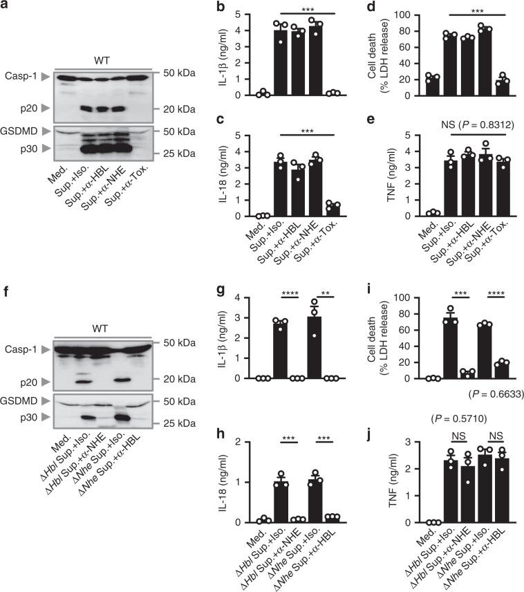 Neutralization of both HBL and NHE abrogates inflammasome activation. a Immunoblot analysis of caspase-1 and gasdermin D, of WT BMDMs left untreated or LPS-primed and assessed 20 h after treatment with the supernatant of WT B. cereus (Sup.) treated with an isotype control (Iso.), anti-HBL-neutralizing antibodies (α-HBL), anti-NHE-neutralizing antibodies (α-NHE) or with both anti-HBL- and anti-NHE-neutralizing antibodies (α-Tox.). Release of IL-1β b , and IL-18 c of BMDMs, death of BMDMs d , and release of TNF e , of BMDMs as treated in a . f Immunoblot analysis of caspase-1 and gasdermin D of WT BMDMs left untreated or LPS-primed and assessed 20 h after treatment with the supernatant of Δ Hbl treated with an isotype control or anti-NHE-neutralizing antibodies or assessed 20 h after treatment with the supernatant of Δ Nhe B. cereus (Δ Nhe Sup.) treated with an isotype control or anti-HBL-neutralizing antibodies. Release of IL-1β g , and IL-18 h of BMDMs, death of BMDMs i , and release of TNF j of BMDMs as treated in f . NS, not significant, ** P