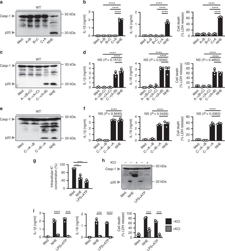 Linear assembly of NHE induces K + efflux and activation of the <t>NLRP3</t> inflammasome. a Immunoblot analysis of caspase-1 of WT BMDMs left untreated or <t>LPS-primed</t> and assessed 3 h after treatment with binary combinations of NHE, or after treatment with tripartite NHE. b Release of IL-1β and IL-18, and death of WT BMDMs as treated in a . c , e Immunoblot analysis of caspase-1 of WT BMDMs left untreated or LPS-primed and assessed 3 h after treatment with NHE component added in various orders. d , f Release of IL-1β and IL-18, and death of WT BMDMs as treated in c and e . g Inductively coupled plasma-optical emission spectrometry analysis of intracellular concentrations of K + of BMDMs left untreated or LPS-primed and assessed 2 h after treatment with NHE, or 30 mins after treatment with ATP. h Immunoblot analysis of caspase-1 of WT BMDMs left untreated or LPS-primed and assessed 3 h after treatment with NHE, or 30 mins after treatment with ATP, in the absence (−) or presence (+ ; 50 mM) of extracellular KCl. i Release of IL-1β and IL-18, and death of WT BMDMs as treated in h . NS, not significant, *** P