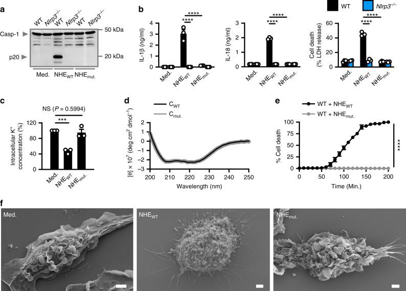 The transmembrane domain in NHE-C is essential for inflammasome activation and cell death. a Immunoblot analysis of caspase-1 of WT or Nlrp3 −/− BMDMs left untreated (Med.) or LPS-primed and assessed 3 h after treatment with C + B + A (NHE WT ) or C mut. + B + A (NHE mut. ). b Release of IL-1β and IL-18, and death of WT or Nlrp3 −/− BMDMs as treated in a . c Inductively coupled plasma-optical emission spectrometry analysis of intracellular concentrations of K + of BMDMs left untreated or assessed 3 h after treatment with NHE WT or NHE mut. . d Circular dichroism analysis of the secondary structures of C WT or C mut. . e IncuCyte live-imaging analysis of the viability of WT BMDMs left untreated or LPS-primed and assessed after treatment with NHE WT or NHE mut. . f Scanning electron microscopy analysis of WT BMDMs left untreated or LPS-primed and assessed 3 h after treatment with NHE WT or NHE mut. . Scale bar, 2 μm f . NS, not significant, *** P