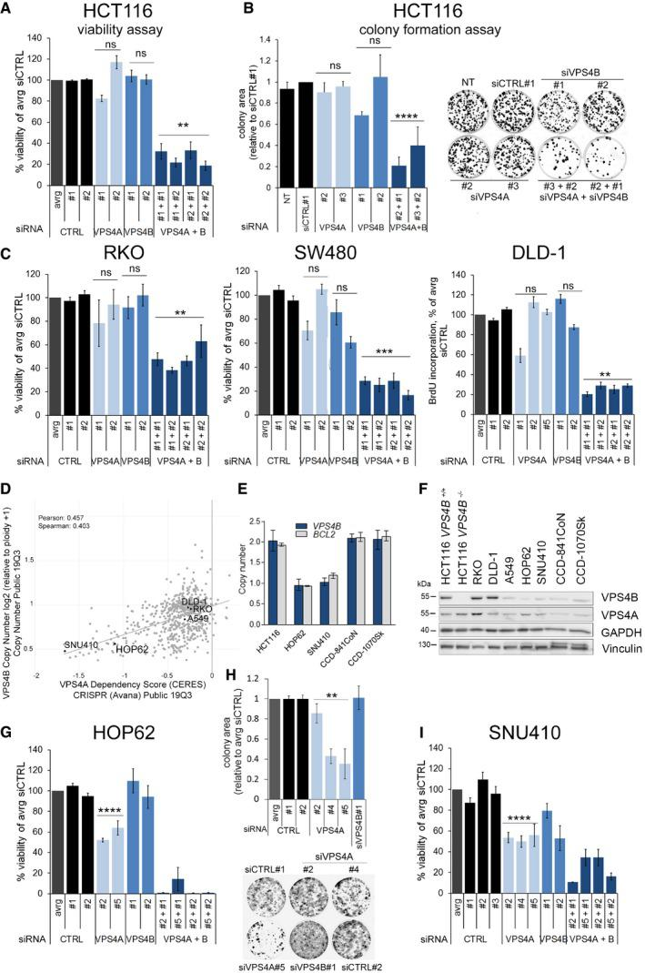 Synthetic lethality between VPS 4A and VPS 4B inhibits growth of CRC lines in vitro Analysis of viability of HCT116 cells assessed 96 h after transfection with independent non‐targeting siRNA (two different duplexes used, siCTRL#1 or #2) or targeting VPS4A (duplexes #1 or #2), VPS4B (duplexes #1 or #2), or both VPS4 (various combinations of siVPS4A+siVPS4B duplexes). Data are means of three independent experiments ± SEM. All values were normalized, averaged (avrg) viability of siCTRL#1‐ and #2‐transfected cells was set as 100%, the Kruskal–Wallis test followed by Dunn's multiple comparison post hoc test; ns—non‐significant ( P ≥ 0.05), ** P