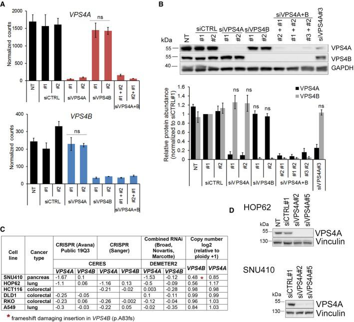 Analyses of VPS 4A and VPS 4B mRNA and protein abundance in HCT 116 cells and the dependencies between both genes in different cell lines mRNA levels of VPS4A (upper panel) and VPS4B (lower panel) in <t>HCT116</t> cells 72 h upon siRNA transfection. For VPS4A or VPS4B depletion, two different duplexes (#1 or #2) of siVPS4A or siVPS4B were used. For simultaneous VPS4A+B depletion, various combinations of siVPS4A and siVPS4B duplexes were used. Two different duplexes of siCTRL (#1 or #2) were used as non‐targeting controls. NT—non‐transfected. Values represent normalized counts after including variance normalized transformation performed by the DESeq2 package for RNA‐Seq data analysis. Data are means of four independent experiments ± SEM. Two‐tailed unpaired t ‐test; ns—non‐significant ( P ≥ 0.05). Upper panel, representative immunoblotting analysis of VPS4A and VPS4B abundance in lysates of HCT116 cells collected 72 h after transfection as in (A). GAPDH was used as a loading control. Lower panel, densitometry analysis of VPS4A and VPS4B abundance based on immunoblotting analysis as shown in the upper panel. NT—non‐transfected. Data are means of four independent experiments ± SEM. Wilcoxon signed rank test; ns—non‐significant ( P ≥ 0.05). Correlation between dependency scores and VPS4B copy number for selected cancer cell lines from the DepMap portal dataset ( https://depmap.org/portal/ ). According to the portal, a lower score (below −0.5) means that a gene is more likely to be dependent in a given cell line. A score of 0 is equivalent to a gene that is not essential, whereas a score of −1 corresponds to the median of all common essential genes. Immunoblotting analysis of VPS4A silencing efficiency in HOP62 and SNU410 cell lines. Lysates were prepared 6 days after siRNA transfection with non‐targeting (siCTRL#1) or VPS4A ‐targeting (siVPS4A#2 or #5) duplexes. Vinculin was used as a loading control. Data information: The exact P ‐values can be found in Appendix Table 