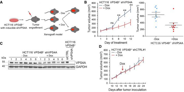 Synthetic lethality between VPS 4A and VPS 4B inhibits growth of CRC cells in a mouse xenograft model Schematic illustration of xenograft experiments with HCT116 VPS4B −/− cells having doxycycline (Dox)‐inducible expression of shRNA targeting VPS4A . Left panel, growth of HCT116 VPS4B −/− shVPS4A cells as xenografts in mice in the presence or absence of doxycycline. Day 1 indicates the first day of doxycycline administration. n = 9 for each group, each mouse bearing one tumor, ± SEM. Two‐tailed unpaired t ‐test; ns—non‐significant ( P ≥ 0.05), ** P