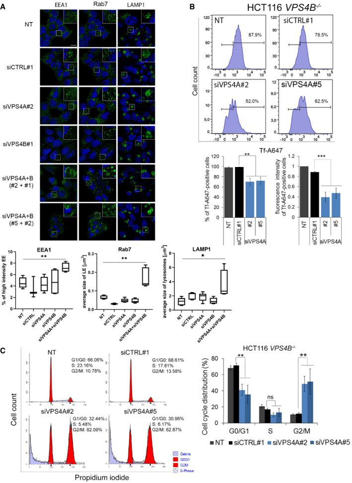Inhibition of endocytosis and cell cycle progression upon simultaneous depletion of VPS 4A and VPS 4B Upper panel, microscopy images of HCT116 cells collected 48 h after transfection with control (siCTRL#1) or VPS4A‐ and/or VPS4B ‐targeting siRNA (siVPS4A#2 or #5 and siVPS4B#1 or #2). EEA1, Rab7, and LAMP1 were used as markers of early endosomes (EE), late endosomes (LE), and lysosomes, respectively, and were visualized in green. Nuclei were stained with Hoechst 33342 (blue). NT—non‐transfected cells. Scale bar, 10 μm. Lower panel, quantified fluorescence signals from microscopy images. The boxes denote the 25 th to 75 th percentile range, the center lines mark the 50 th percentile (median) and the whiskers reflect the largest and smallest observed values in at least four z‐stacks from three independent experiments. The Welch t ‐test (for EEA1 and Rab7) and the Mann–Whitney U ‐test (for LAMP1); * P