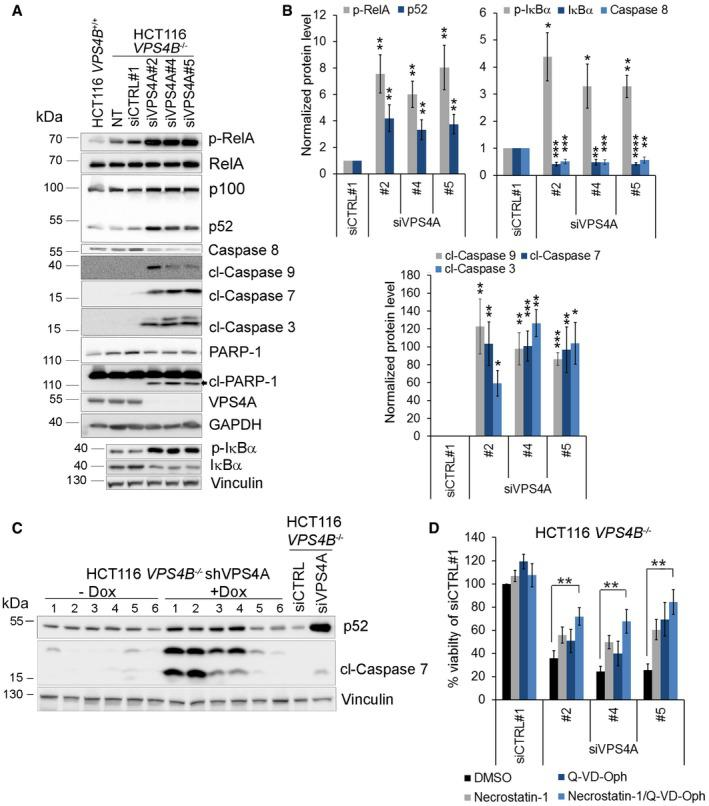 Combined VPS 4A+B depletion induces NF ‐κB signaling and caspase‐dependent and caspase‐independent cell death pathways Immunoblotting analysis of the canonical and noncanonical branches of the NF‐κB pathway and mediators of caspase‐dependent cell death. Lysates of HCT116 VPS4B −/− cells were collected 66 h after transfection with siRNA (siCTRL#1 or different siVPS4A duplexes: #2, #4, or #5). Lysates of HCT116 VPS4B +/+ and non‐transfected HCT116 VPS4B −/− cells were used to monitor the basal pathway activity. Representative blot from 10 experiments is shown. NT—non‐transfected; p‐RelA—phospho‐RelA; p‐IκBα—phospho‐IκBα; cl—cleaved caspases or PARP‐1. GAPDH or vinculin served as loading controls. Densitometry analysis of the abundance of the indicated proteins based on immunoblot images as shown in (A). Data are means of 10 (phospho‐Rel and cleaved caspase 7), nine (p52, caspase 8 and cleaved caspase 9), seven (phosphorylated and total IκB), or five (cleaved caspase 3) independent experiments. Error bars are SEM. Statistical significance was assessed using the following tests: one‐sample t ‐test (caspase 8, cleaved caspases 9, 7, and 3, total and phospho‐IκBα) or Wilcoxon signed rank test (phospho‐RelA and p52); * P