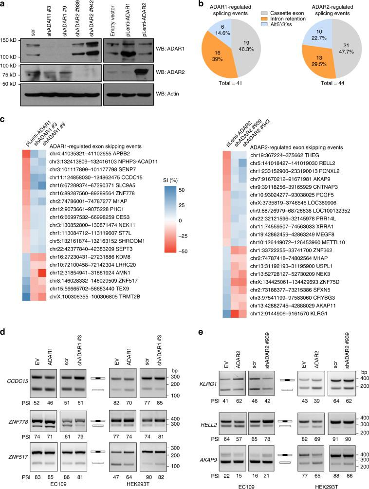 ADAR proteins regulate a subset of alternative splicing events. a WB analyses of ADAR1 and ADAR2 proteins in EC109 cells that were stably knocked down (sh ADAR1 #3 and #9; sh ADAR2 #939 and #942; and scramble shRNA (scr)) or overexpressed (pLenti- ADAR1 ; pLenti- ADAR2 ; and empty vector control) for ADAR1 or 2, using lentiviral system. β-actin (actin) was used as a loading control. b Pie charts representing the number (and percentage) of each type of alternative splicing events affected by ADAR1 (left) and ADAR2 (right). c Heat maps showing the differentially spliced cassette exon events, upon knockdown and overexpression of ADAR1 (left) and ADAR2 (right). Splicing index (SI) is calculated by the ratio of inclusion junction reads to the sum of inclusion and skipping junction reads, and ΔSI indicates the difference in SI between ADARs knockdown/overexpression and their corresponding control samples. d , e RT-PCR analyses of representative ADAR1- d or ADAR2- e affected cassette exons in original RNA-Seq EC109 cells, as well as HEK293T cells. PSI, percent spliced in. Source data are provided as a Source Data file.