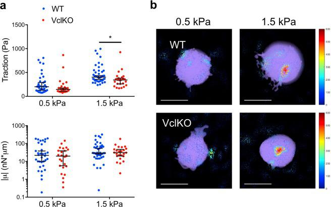 Neutrophil traction stress generation is attenuated by vinculin deficiency. ( a ) 3D tractions and the trace of the dipole moments, µ, of WT and VclKO neutrophils on polyacrylamide gels of either 0.5 kPa or 1.5 kPa stiffness (n > 25 cells/group, 3 independent experiments). Data analyzed using two-way ANOVA with Tukey multiple comparison test. *p
