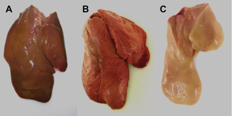 Macroscopic findings in the livers of experimentally H5N8B-infected ducks. (A) Seronegative Pekin duck, H5N8B-infected, euthanized 9 dpi due to neurological symptoms, liver. Macroscopically normal, brown-red, acutely-angled liver without immunohistochemically-detectable hepatocellular influenza A virus matrix protein. (B) Pekin contact duckling in the mallard group, died 4 dpc, liver. Swollen, brick-red-colored, friable liver with rounded edges, interpreted as severe, acute, diffuse, necrotizing hepatitis with immunohistochemically-detectable hepatocellular influenza A virus matrix protein. (C) Seropositive mallard, H5N8B-infected, clinically normal, 14 dpi, liver. Swollen, beige, greasy liver with rounded edges, interpreted as moderate, acute, diffuse hepatocellular lipidosis (background pathology) without immunohistochemically detectable hepatocellular influenza A virus matrixprotein.