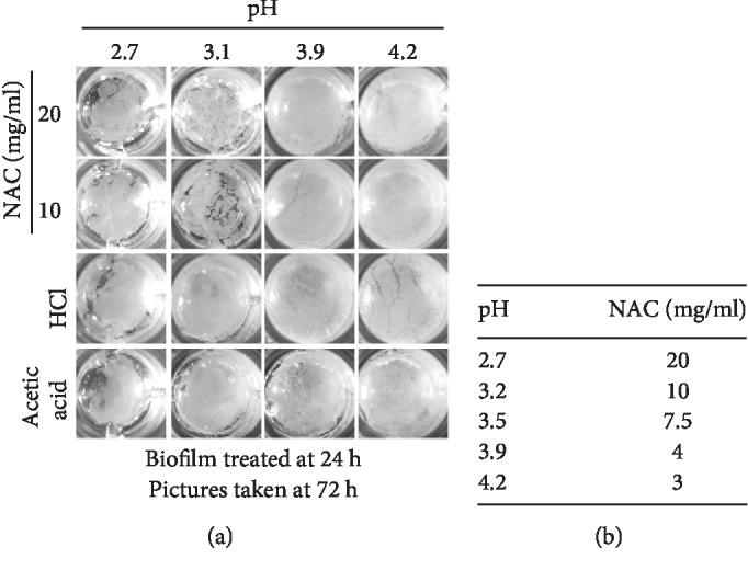 The effects of pH on the ability of NAC to dismantle the biofilm. (a) 24 h old biofilm was treated with either 20 or 10 mg/ml of NAC or HCL or acetic acid at different adjusted pH to 2.7, 3.1, 3.9, and 4.2, corresponding to the pH range of 20-3 mg/ml of NAC. When the pH of the NAC solution for both concentrations is below the pKa (3.24), biofilm was disturbed. However, when pH > pKa, the structure of the biofilm remained intact. Biofilm treated with HCL and acetic acid remained intact at ≥pH 3.1. When pH further decreased to pH 2.7, biofilm treated with both acids became fragile. (b) shows the pH of the NAC solution at the specific concentration of NAC. Three biological replicates were performed.
