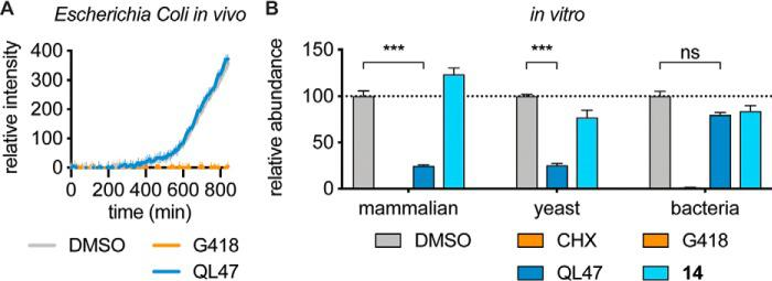 QL47 inhibits eukaryotic but not prokaryotic protein synthesis. A , E. coli cells carrying the pUA66- rrnB plasmid that constitutively expresses GFP ( 24 ) were treated with DMSO, 250 μg/ml G418, or 50 μ m QL47. The intracellular GFP fluorescence signal was then measured continuously for 14 h at 37 °C. The signal obtained from growth medium was subtracted, and data are presented as means ± S.D. of 12 experimental replicates. One representative experiment is shown from two independent experiments. B , analysis of in vitro translation assays performed in rabbit reticulocyte lysates, yeast cell lysates, or a reconstituted E. coli cell-free synthesis system (PURExpress®). Translation in rabbit reticulocyte lysates was performed in the presence of DMSO, 30 μg/ml CHX, 40 μ m QL47, or 40 μ m compound 14. An in vitro transcribed reporter DV subgenomic RNA was used as a template, and the luciferase signal was measured after 90-min incubation at 30 °C. Data are presented as means normalized to DMSO ± S.D. of four experimental replicates. Translation in yeast cell lysates was performed in the presence of DMSO, 40 μ m QL47, or 40 μ m compound 14. An in vitro transcribed vesicular stomatitis virus (VSV) RNA bearing a luciferase reporter gene ( 44 ) was used as a template, and the luciferase signal was measured after 2-h incubation at 25 °C. Data are presented as means normalized to DMSO ± S.D. of three experimental replicates. Translation in a reconstituted E. coli cell-free synthesis system (PURExpress®) was performed in the presence of DMSO, 250 μg/ml G418, 100 μ m QL47, or 100 μ m compound 14. A plasmid expressing GFP under control of a T7 promoter was used as a template. After 1-h incubation at 37 °C, the total protein content was analyzed by Western blotting. The reporter protein was detected using a GFP antibody, and its abundance was normalized to the loading control (histidine tag). Data are presented as means normalized to DMSO ± S.D. of two technical replicates. One re