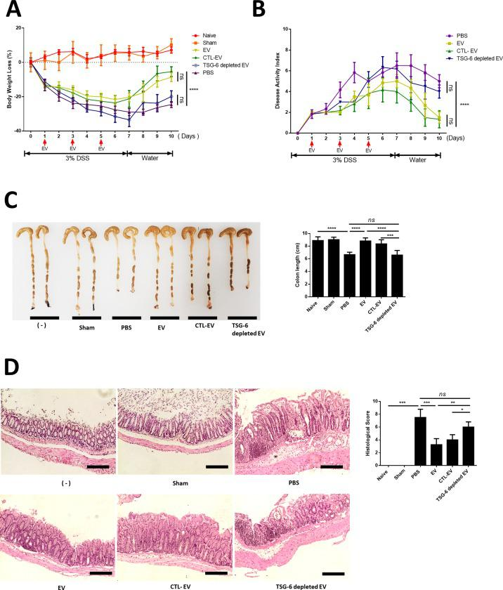 cASC-EV injection ameliorated DSS-induced colitis in mice. EVs (100 μg), TSG-6 depleted EVs (100 μg), control EVs (100 μg), or vehicle control were injected IP one day after mice were administered 3% DSS. On days 3 and 5, the mice in each group were re-injected with EVs (100 μg), TSG-6 depleted EVs (100 μg), control EVs (100 μg), or vehicle control (PBS). Mice were monitored for changes in (A) body weight, (B) DAIs, and (C) colon lengths. (D) H E staining of colon sections and histological scores are shown. Scale bars, 100 μm. The results are shown as mean ± standard deviation (n = 6–8 in each group, *P