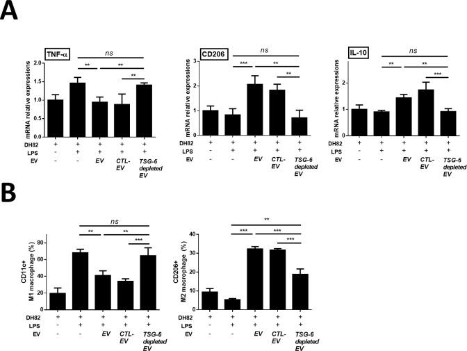cASC-EV TSG-6 induced macrophage polarization from M1 to M2 type in vitro. LPS-stimulated canine macrophage (DH82) were cocultured for 48 h with cASC-EVs transfected with TSG-6 siRNA (si-TSG6) or scrambled siRNA (siCTL), or naïve EVs. (A) TNF-α, IL-10, CD206 and Arg mRNA-expression levels were measured (C) The M1 and M2 population were determined by measuring CD206 and CD11c positive cells by flow cytometry (n = 6 in each group). The results are presented as the mean ± standard deviation (*P