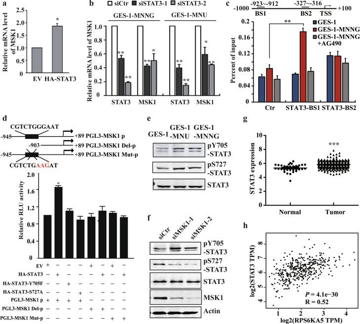 STAT3 induces transcriptional activation of MSK1 and forms a positive feedback loop with MSK1. a , b RT-PCR analysis of MSK1 expression after STAT3 overexpression or siRNA knockdown in GES-1 or NOC-transformed cells. c NOC-transformed cells were treated with vehicle or AG490. The binding of STAT3 in the specific sites of MSK1 promoter were analyzed by ChIP-qPCR with anti-STAT3 antibody. Ctr: control site. BS1: binding site 1. BS2: binding site 2. d pLG3-MSK1 promoter constructs and STAT3 full-length or muntants were co-transfected into the cells, and the transcriptional activity of MSK1 promoter was analyzed by the luciferase reporter assay. e STAT3 Y705 or S727 phosphorylation levels were examined by WB with the specific antibodies in malignantly transformed cells. f STAT3 phosphorylation levels in the transformed cells following MSK1 siRNA knockdown were detected by WB analysis. g TCGA database analysis of STAT3 expression. h The correlation between STAT3 and MSK1 expression of the TCGA database were generated by GEPIA (Gene Expression Profiling Interactive Analysis, http://gepia.cancer-pku.cn/ ). The analyses were repeated three times, and the results were expressed as mean ± SD. * p