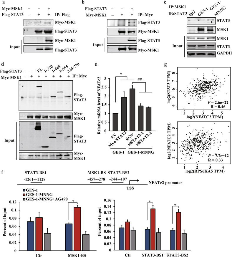 MSK1 and STAT3 can be recruited to the promoter of NFATC2, and activate its expression by coupling histone phosphorylation. a , b STAT3 and MSK1 protein interaction was derived from HEK 293T cells following the transfection with Myc-MSK1 and Flag-STAT3 by immunoprecipitation assay (IP). c Endogenous interaction between Stat3 and MSK1 by IP analysis derived from GES-1 or MNNG-transformed cells. d Flag-STAT3 fragments were co-expressed with Myc-MSK1 wild-type in HEK293T cells. After anti-Myc immunoprecipitation, coprecipitated STAT3 was revealed by immunoblotting. e RT-qPCR analysis of NFATc2 mRNA expression after STAT3 overexpression or siRNA knockdown. f The binding of MSK1 (left) or STAT3 (right) to the promoter of NFATc2 was analyzed by ChIP assay with anti-MSK1 or anti-STAT3 antibody in the MNNG-transformed cells treated with vehicle or AG490. Ctr: control site. MSK1-BS: MSK1 binding site. STAT3-BS1: STAT3 binding site 1. STAT3-BS2: STAT3 binding site 2. g The correlation between STAT3 and NFATc2 expression or MSK1 and NFATc2 expression of the TCGA database were analyzed by GEPIA. The analyses were repeated three times, and the results were expressed as mean ± SD. * p