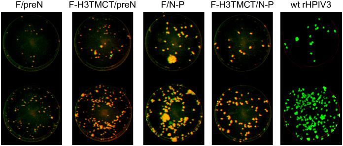 Stability of expression of RSV F protein by rHPIV3-RSV-F vectors evaluated by a double-staining immunofluorescence plaque assay. Vero cells were inoculated with 10-fold serial dilutions of the P4 stock of F-H3TMCT/N-P obtained from terminal dilution from transfection #1 and P2 stocks of F/preN, F-H3TMCT/preN, and F/N-P from transfection #2 (see Results ). Cells were infected in duplicate and incubated for 6 days at 32°C under a 0.8% methylcellulose overlay. The cells were fixed and subjected to double-staining immunofluorescence with a rabbit polyclonal hyperimmune serum raised against HPIV3 virions and a mixture of three conformationally-dependent murine anti-RSV F MAbs [ 22 ]. Secondary antibodies were infrared dye-labeled donkey anti-rabbit 800-CW and donkey anti-mouse 680-LT. The Odyssey infrared imaging system was used to acquire plaque images. The infrared dyes were pseudo-colored to appear green and red for rHPIV3 and RSV F antigens, respectively. The plaques co-expressing rHPIV3 and RSV F antigens appear yellow. Plaques in which expression of RSV F could not be detected by the three conformationally-dependent MAbs appear green. Representative monolayers are shown.