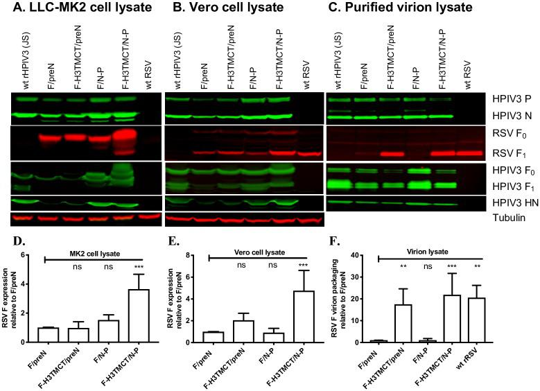 Western blot analysis of infected cell lysates and sucrose gradient-purified virions. (A, B) Analysis of cell-associated proteins. LLC-MK2 (A) or Vero (B) cells were infected with the indicated rHPIV3-RSV-F vectors or wt rHPIV3 at an MOI of 3 TCID 50 /cell or with wt RSV at an MOI of 3 PFU/cell and incubated for 48 h at 32°C, after which cells were lysed in denaturing and reducing sample buffer and analyzed by Western blotting. RSV F was detected with a mouse anti-RSV F MAb; note that expression of F protein by RSV in LLC-MK2 cells (A) was below the level of detection due to inefficient infection by RSV in that cell type. rHPIV3 N and P proteins were detected with rabbit polyclonal hyperimmune serum against HPIV3 virions; rHPIV3 F was detected with a rabbit hyperimmune serum against recombinant purified F ectodomain; and rHPIV3 HN was detected with a hyperimmune rabbit serum raised against an HN peptide. Tubulin was detected on all blots as a loading control using a mouse anti-tubulin MAb. Secondary antibodies are described in Materials and Methods. Representative blots are shown. (C) Analysis of purified virions. LLC-MK2 cells were infected with the indicated rHPIV3-RSV-F vectors or wt rHPIV3 at an MOI of 0.1 TCID 50 /cell, and Vero cells were infected with RSV at an MOI of 0.1 PFU/cell (LLC-MK2 cells were used for rHPIV3, but Vero cells were used for RSV because they are more permissive) and incubated at 32°C. Culture medium supernatants were collected, clarified by low-speed centrifugation, and subjected to sucrose gradient centrifugation to partially purify the virus particles. One μg of total protein from each virus preparation, as measured by BCA assay, was denatured, reduced, and analyzed by Western blotting (as in parts A and B) to quantify packaging of RSV F and rHPIV3 proteins into the vector particles. In panels A-C, blot images are representative of three independent experiments. RSV F protein bands were quantified by densitometry and normalized to tubulin (A and B) or rHPIV3 N protein (C). The values of RSV F from three repeats for each of A, B, and C were plotted in D, E, and F, respectively, as fold change in the amount of RSV F relative to that of the F/preN virus assigned the value of 1.0. Cell-associated RSV F in the LLC-MK2 and Vero cell lysates was predominantly detected as the F 0 precursor and the larger F 1 subunit, respectively, and in virions as the F 1 subunit; these were the forms that were quantified.