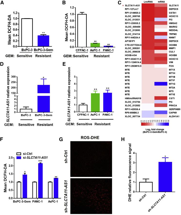 Overexpression of SLC7A11-AS1 in Gemcitabine-Resistant PDAC Cells Reduces Intracellular ROS Level (A and B) PDAC cells with acquired (A, BxPC-3-Gem vs BxPC-3) or innate (B, PANC-1 and AsPC-1 vs CFPAC-1) gemcitabine resistance were incubated with probe DCFH-DA (10 μM) for 30 min. ROS levels were detected by flow cytometry. (C) The log2 fold changes of lncRNAs and their nearby coding genes that are associated with ROS regulation were presented by heatmap. (D and E) Expression of SLC7A11-AS1 in PDAC cell lines with aquired (D) or innate drug resistance (E) was detected by qRT-PCR and normalized to GAPDH (n = 3). (F) ROS levels were determined in gemcitabine-resistant PDAC cells with SLC7A11-AS1 knockdown or control as described in (A) and (B). (G and H) SLC7A11-AS1 -knockdown and control PANC-1 cells (1.5 × 10 6 ) were inoculated in BALB/c nude mice (n = 5). Slides from tumor tissues were incubated with DHE for in situ detection of ROS. (G and H) Fluorescence was detected by fluorescent microscope (G) and quantified by using ImageJ (H) (n = 3). *p