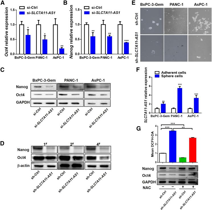 SLC7A11-AS1 Scavenges ROS to Promote Cancer Stemness (A–C) Effects of SLC7A11-AS1 knockdown on expressions of Oct4 and Nanog were determined by qRT-PCR (A and B) and western blot (C) in <t>gemcitabine-resistant</t> PDAC cells (n = 3). (D) Expressions of Oct4 and Nanog in tumor tissues (as described in Figure 1 G) were determined by western blot (D). (E) Oncosphere-formation assay in SLC7A11-AS1 -knockdown and control gemcitabine-resistant PDAC cells. Original magnification ×10. (F) qRT-PCR analysis of SLC7A11-AS1 expression in spheroids and paired attached PDAC cells (n = 3). (G) Flow cytometry analysis of ROS using probe DCFH-DA (upper) and western blot analysis of Oct4 and Nanog (bottom) in SLC7A11-AS1 -knockdown and control PANC-1 cells treated with or without NAC (10 mM) for 48 h (n = 3). *p