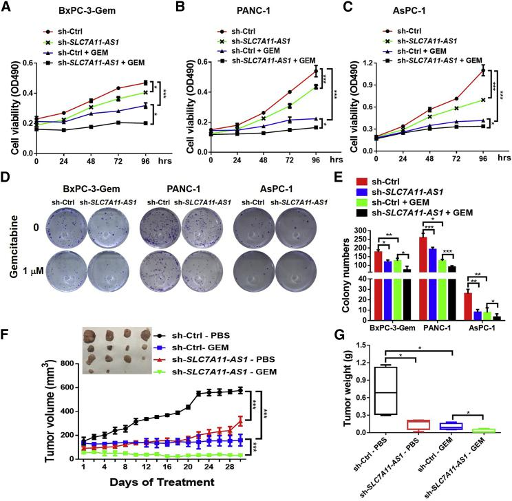 SLC7A11-AS1 Knockdown Potentiates Resistant PDAC Cell Response to Gemcitabine (A–C) SLC7A11-AS1 -knockdown and control (A) BxPC-3-Gem, (B) PANC-1, and (C) AsPC-1 cells were treated with gemcitabine (1 μM) for indicated times, and cell viability was analyzed by MTT assay (n = 3). (D and E) Colony formation assays of SLC7A11-AS1 -knockdown and control cells with gemcitabine treatment (1 μM) for 2 weeks (n = 3). Representative images (D) and average number of colonies (E) were shown. (F and G) Subcutaneous xenograft analysis of SLC7A11-AS1 -knockdown and control PANC-1 cells (1.5 × 10 6 ) in nude mice treated with gemcitabine (50 mg/kg body weight) or PBS by intraperitoneal (i.p.) injection every 4 days (n = 4). Tumor volume (F) and weight (G) were shown. *p