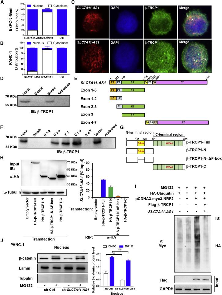 SLC7A11-AS1 Prevents β-TRCP1-Mediated Ubiquitination and Degradation of NRF2 (A and B) Subcellular distribution of SLC7A11-AS1 was detected by qRT-PCR in (A) BxPC-3-Gem and (B) PANC-1 cells. U99 and MT-RNR1 were as nuclear and cytoplasmic marker, respectively (n = 3). (C) The immunofluorescence staining of SLC7A11-AS1 (red), β-TRCP1 (green), and DAPI (blue) in BxPC-3-Gem and PANC-1 cells. (D) Nuclear extracts from BxPC-3-Gem cells were incubated with biotinylated sense and antisense SLC7A11-AS1 generated in vitro , and proteins were precipitated with streptavidin beads and subjected to immunoblotting (IB) analysis with anti-TRCP1 antibody. (E) A schematic diagram of full-length SLC7A11-AS1 and its series of truncates. (F) Nuclear extracts from BxPC-3-Gem cells were incubated with biotinylated SLC7A11-AS1 truncates and antisense SLC7A11-AS1 generated in vitro , and proteins were precipitated with streptavidin beads and subjected to IB analysis with anti-TRCP1 antibody. (G) A schematic diagram of β-TRCP1 and its truncates. (H) RIP assay analysis of the interaction of β-TRCP1 and its truncates (β-TRCP1-N, β-TRCP1-N-ΔF-box, and β-TRCP1-C) with SLC7A11-AS1 in PANC-1 cells. Whole-cell expression (input) of proteins was detected by IB with indicated antibodies (left). The asterisks indicate β-TRCP1 and its truncates bands. The immunoprecipitated SLC7A11-AS1 by using anti-HA antibody was measured by qRT-PCR and represented as a fraction of input RNA (% input) prior to immunoprecipitation (right) (n = 3). (I) Effect of SLC7A11-AS1 on β-TRCP1-mediated ubiquitination of NRF2. 293T cells co-transfected with indicated plasmids were treated with MG132 (1 μM) for 12 h and subjected to immunoprecipitation (IP) with the anti-Myc antibody, followed by IB with anti-HA antibody. Whole-cell expression (input) of proteins was detected by IB with anti-FLAG or anti-GAPDH antibodies. (J) SLC7A11-AS1 prevents β-catenin proteasomal degradation. Western blot (left) analysis of nuclear β-cateni