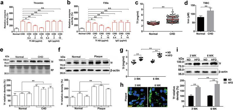 Enhanced enzymatic activity of thrombin and FXIIa is associated with elevated transferrin in atherosclerotic plasma. a , b An anti-transferrin antibody (Tf AB) alleviated the potentiating ability of CHD plasma on enzymatic activity of thrombin ( a ) and FXIIa ( b ). Data represent mean ± SD ( n = 6), ** P