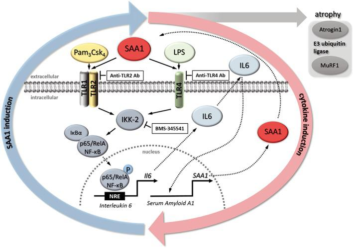 Proposed mechanism of serum amyloid A 1 (SAA1) induced muscle atrophy. SAA1 binds to muscular Toll‐like receptors (TLR) 2 and 4, which results in an activation of the canonical NF‐κB p65 pathway leading to NF‐κB p65/RelA phosphorylation and its translocation into the nucleus. In the nucleus, NF‐κB p65/RelA binds to NF‐κB response elements (NRE), which leads to increased expression and secretion of the pro‐inflammatory cytokine Il6 . IL6 in turn induces expression and secretion of SAA1 resulting in a positive feedback loop. In addition, SAA1 causes an increase of MuRF1/ Trim63 and Atrogin1/ Fbxo32 , which mediate muscle atrophy in sepsis. Anti‐TLR2 or anti‐TLR4 antibodies inhibit SAA1‐induced Il6 expression. The specific <t>IκB</t> kinase subunit <t>IKK‐2</t> inhibitor BMS‐345541 inhibits SAA1‐induced and NF‐κB dependent gene expression, thereby reducing SAA1‐mediated atrophy and inhibiting the self‐augmenting SAA1‐IL6 feedback loop.