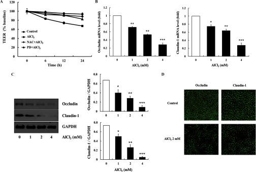 Measures informative of epithelial barrier function in HT-29 cells treated with  AlCl 3 . (A) Cell monolayers were treated with  AlCl 3  ( 2  mM , up to  24 h ) with or without pretreatment with  N -acetylcysteine (NAC) ( 5  mM ,  1 h ) or PD98059 (PD) ( 20 μ M ,  1 h ). Transepithelial electrical resistance (TEER) was measured in the cells ( n = 3  wells / group ). (B and C) Gene and protein expression of tight junction molecules. The cells were treated with  AlCl 3  ( 0 – 4  mM ,  12 – 24 h ). The mRNA level ( 12 h ) and protein expression ( 24 h ) of occludin and claudin-1 were measured ( n = 3  wells / group ). Glyceraldehyde 3-phosphate dehydrogenase (GAPDH) was used as the housekeeping gene. (D) Fluorescence microscopy of occludin and claudin-1. The cells were treated with  AlCl 3  ( 2  mM ,  24 h ). The images shown are representatives of three independent experiments. The values represent the  mean ± SEM  ( n = 3 ); * p
