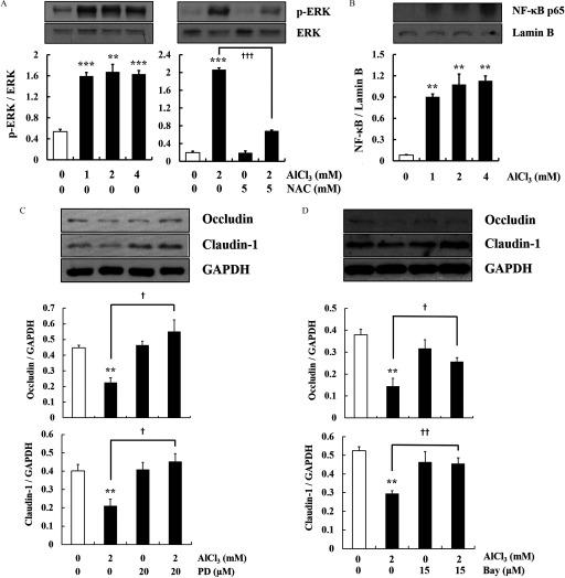 Markers of activation of the extracellular signal-regulated kinase 1/2 (ERK1/2) and nuclear factor-kappa B ( NF- κ B ) pathways by  AlCl 3  in HT-29 cells. (A) Phosphorylation of ERK in cells treated with  AlCl 3  ( 0 – 4  mM ,  1 h ) with or without pretreatment with  N -acetylcysteine (NAC;  5  mM ,  1 h ) ( n = 3  wells / group ). The level of p-ERK was compared with the level of total ERK by the stripping procedure. (B) Nuclear expression of  NF- κ B  p65 in cells treated with  AlCl 3  ( 0 – 4  mM ,  6 h ) ( n = 3  wells / group ). Lamin B was used as the nuclear housekeeping gene. (C and D) Cells were treated with  AlCl 3  ( 2  mM ,  24 h ) with or without pretreatment with PD98059 (PD) ( 20 μ M ,  1 h ) or Bay ( 15 μ M ,  1 h ) ( n = 3  wells / group ). Glyceraldehyde 3-phosphate dehydrogenase (GAPDH) was used as the housekeeping gene. The Western blots shown are representative images of three independent experiments. The values represent the  mean ± SEM  ( n = 3 ). ** p