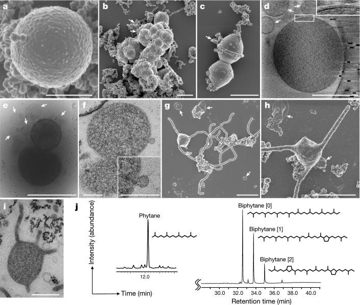 Microscopy characterization and lipid composition of MK-D1. a – c , SEM images of MK-D1. Single cell ( a ), aggregated cells covered with EPS-like materials ( b ) and a dividing cell with polar chains of blebs ( c ). d , Cryo-electron tomography image of MK-D1. The top-right inset image shows a magnification of the boxed area to show the cell envelope structure. e , Cryo-EM image of large membrane vesicles attached to and surrounding MK-D1 cells. f , Ultrathin section of an MK-D1 cell and a membrane vesicle. The bottom-right inset image shows a magnified view of the membrane vesicle. g , h , SEM images of MK-D1 cells producing long branching ( g ) and straight ( h ) membrane protrusions. i , Ultrathin section of a MK-D1 cell with protrusions. j , A total ion chromatogram of gas chromatography–mass spectrometry (GC–MS) for lipids extracted from a highly purified MK-D1 culture. The chemical structures of isoprenoids and their relative compositions are also shown (Supplementary Fig. 2 ). Scale bars, 1 μm ( b , c , g , h ), 500 nm ( a , d , e , i ) and 200 nm ( f ). a – c , g , h , SEM images are representative of n = 122 recorded images that were obtained from four independent observations from four culture samples. d , e , Cryo-EM images are representative of n = 14 recorded images that were taken from two independent observations from two culture samples. f , i , The ultrathin section images are representative of n = 131 recorded images that were obtained from six independent observations from six culture samples. White arrows in the images indicate large membrane vesicles. The lipid composition experiments were repeated twice and gave similar results. Detailed iTAG-based community compositions of the cultures are shown in Supplementary Table 1 .