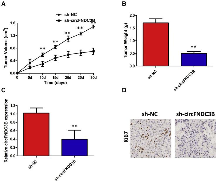 circFNDC3B Knockdown Inhibits the Growth of PTC Cells In Vivo (A) circFNDC3B knockdown inhibits tumor growth in vivo . The tumor volume curve of nude mice was analyzed. (B) The tumor weights of nude mice were measured. (C) qRT-PCR analysis was performed to detect circFNDC3B expressions. (D) IHC analysis was performed to examine the expression levels of proliferation marker Ki-67 in tumors of nude mice. ** p
