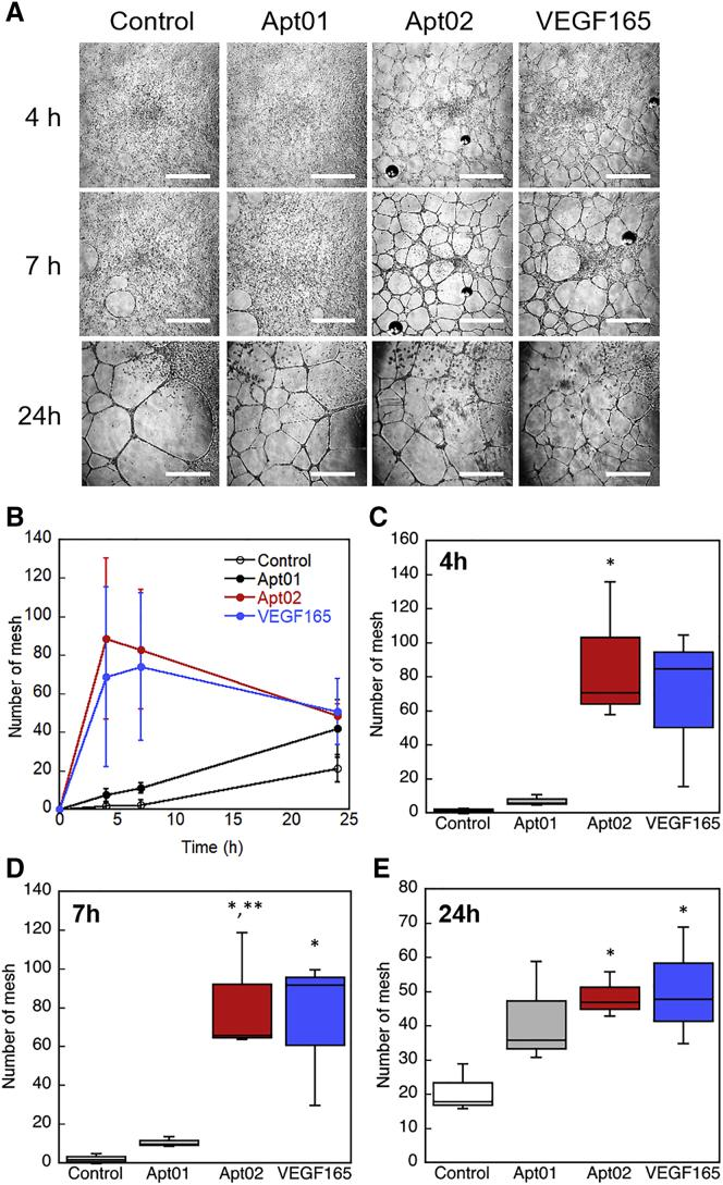In Vitro Tube Formation Assay Using Human Umbilical Vein Endothelial Cells (HUVECs) on a Three-Dimensional Gel Consisting of Diluted Matrigel The cells were treated with Apt01 (10 μM), Apt02 (10 μM), or VEGF165 (10 ng/mL, 0.26 nM) for 24 h. (A) Representative images of tube formation of HUVECs on Matrigel, which are treated by aptamers or VEGF165. Scale bars, 1 mm. (B) Time course of mesh number in the images of the HUVEC networks at 4, 7, and 24 h. Error bars represent standard deviation of the mean (n = 3 plots). (C–E) Boxplot showing mesh number in the images of the HUVEC networks at (C) 4, (D) 7, and (E) 24 h (n = 3 plots). *p