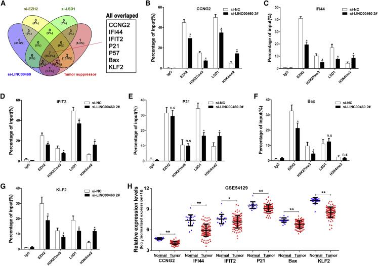 LINC00460 Regulates the Transcriptions of Multiple Genes through Interacting with EZH2 and LSD1 (A) Seven tumor suppressor genes were simultaneously changed in the GC cells transfected with si-LINC00460, si-EZH2, or si-LSD1. ChIP-qPCR of EZH2/H3K27me3 and LSD1/H3K4me2 in gene promoter regions (including CCNG2 (B), IFI44 (C), IFIT2(D), P21 (E), Bax (F), KLF2 (G)) after the transfections with NC or LINC00460 siRNAs in BGC823 cells. Enrichment was quantified with the anti-IgG antibody as an internal control. (H) Analysis for the differentially expressed genes between GC and non-tumor samples in GSE54129 dataset. Data were expressed as mean ± SD of three independent trials. *p
