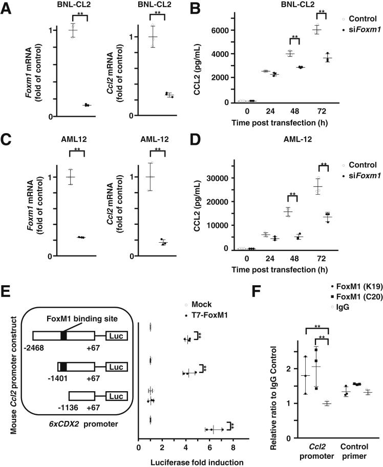 Direct regulation of CCL2 by FoxM1 in hepatocytes. ( A ) Quantification of gene expression of FoxM1 ( left ) and Ccl2 ( right ) in FoxM1 siRNA-transfected BNL-CL2 cells (n = 3 per group). ( B ) Quantification of CCL2 levels in supernatant of FoxM1 siRNA-transfected BNL-CL2 cells at indicated time points after transfection (n = 3 per group). ( C ) Quantification of gene expression of FoxM1 ( left ) and Ccl2 ( right ) in FoxM1 siRNA-transfected AML12 cells (n = 3 per group). ( D ) Quantification of CCL2 levels in supernatant of FoxM1 siRNA-transfected AML12 cells at indicated time points after transfection (n = 3 per group). ( E ) Schematic illustration of luciferase (Luc) reporter constructs containing −2468/+67 bp murine Ccl2 promoter and its deletion mutants (−1401/+67 bp and −1136/+67 bp) and quantification of transcriptional activities induced by cotransfection of T7-FoxM1 expression vector (T7-FoxM1) compared with CMV-empty vector (Mock) (n = 3 per group). A 6xCDX2 promoter LUC construct was used as a positive control. ( F ) Quantification of chromatin immunoprecipitation assay to show direct binding of FoxM1 protein to murine Ccl2 promoter DNA using 2 independent antibodies against FoxM1 (K19 and C20) compared with immunoglobulin G control (n = 3 per group). Data are expressed as individual values and mean ± standard deviation; ** P