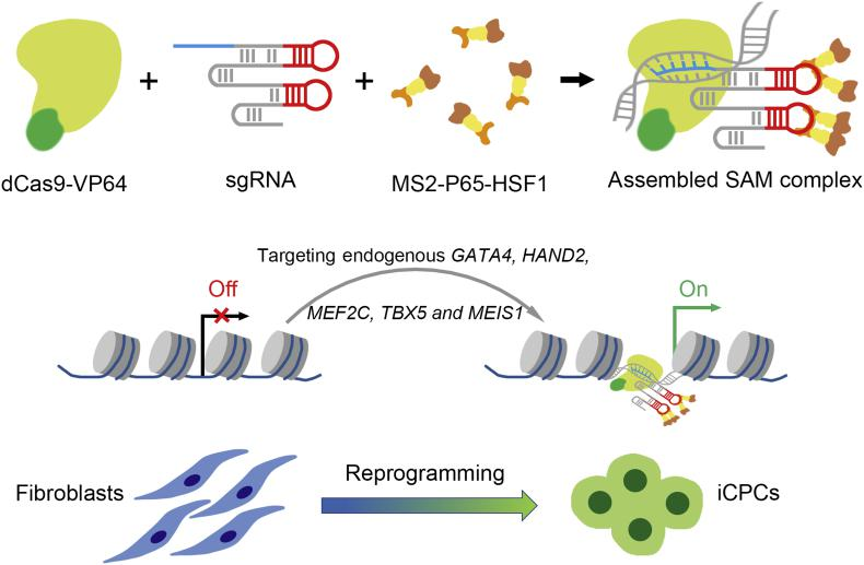 Graphic illustration of reprogramming human foreskin fibroblasts into iCPCs via SAM-mediated gene activation. The combination of dCas9-VP64, sgRNA and <t>MS2-P65-HSF1</t> is assembled SAM complex. Targeted and robust activation of endogenous genes, including GATA4 , HAND2 , MEF2C , TBX5 and MEIS1 , can reprogram human fibroblasts toward iCPCs.