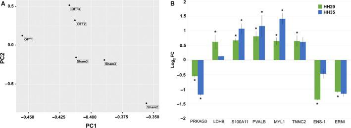 OFT‐banded hearts show overall consistency of gene expression with targeted gene analysis showing differential expression at HH29 and HH35. (A) PCA of RNA sequencing FPKM shows consistency of expression within OFT‐banded (OFT) and sham groups, with a distinction seen between groups. (B) Expression analysis of targeted genes at HH29 and HH35 by qPCR shows a general increase in differential expression in OFT‐banded hearts, with the exception of LDHB and ENS‐1, where decreases are seen (* P