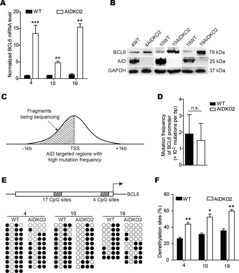 The deamination of AID has no role for DNA demethylation on BCL6 gene. (A) BCL6 transcripts were detected in 4WT and 4AIDKO, 10WT and 10AIDKO, 19WT and 19AIDKO by qRT-PCR. Data shown are representative of 3 technical replicates. (B) BCL6 protein levels were measured in 4WT and 4AIDKO, 10AIDKO and 19AIDKO cells by immunoblots, and GAPDH protein was taken as an internal control. (C) Schematic diagram shows AID mediated BCL6 mutation region. Not drawn to scale. (D) Histograms represent point mutation frequency of BCL6 promoter in 4WT and 4AIDKO cells. Mutation was measured in DNA from 2 independent preparations. (E) Schematic diagram shows CpG sites in the promoter of BCL6 gene. The hollow box represents BCL6 promoter. The shadow boxes represent CpG sites. The segment for 17 CpG sites locates in −1.07 kb to −0.84 kb of BCL6 promoter. The segment for 4 CpG sites is in the −0.51 kb to −0.24 kb of BCL6 promoter. Not drawn to scale. The bisulfite sequencing was used to examine methylation status of these CpG sites in BCL6 promoter. Black circles signify methylated CpGs, and white circles indicate demethylated CpGs. (F) Histograms indicate results for demethylation frequency of CpG sites in BCL6 promoter as detecting in E. Methylation was measured in DNA from 2 independent preparations. Data are presented as mean ± SD. *,** and *** represent p