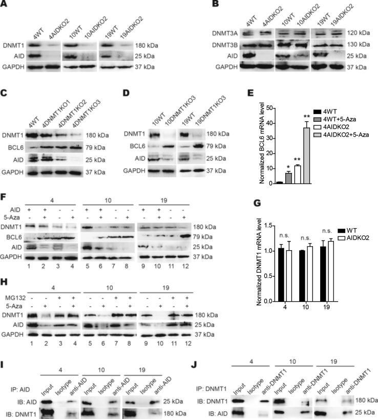 The stabilized AID-DNMT1 complex suppresses BCL6 expression in DLBCL cells. (A) Immunoblot measurement of DNMT1 and AID protein level was performed in 4WT and 4AIDKO, 10WT and 10AIDKO, 19WT and 19AIDKO cells, respectively. GAPDH protein was used as an internal control. (B) DNMT3A, DNMT3B and AID proteins were measured in WT and AIDKO DLBCL cells by immunoblots. GAPDH protein was taken as an internal control. (C) Immunoblot detection of DNMT1, AID and BCL6 proteins was performed in SU-DHL-4 cells with CRISPR/Cas9 including three gRNAs for depleting DNMT1. DNMT1KO3 was the gRNA with the best efficiency in DNMT1 knock out. GAPDH protein was used as an internal control. (D) DNMT1, AID and BCL6 protein levels were detected in 10WT, 19WT and 10DNMT1KO, 19DNMT1KO cells by immunoblots, and GAPDH protein was used as an internal control. (E) BCL6 transcripts were detected in 4WT and 4AIDKO cells after 5-Azacytidine (10 μM) (5-Aza) treatment for 24 hours in vitro by qRT-PCR. Data shown are representative of 3 technical replicates. (F) DNMT1, BCL6 and AID protein levels were detected in 4WT and 4AIDKO, 10WT and 10AIDKO, 19WT and 19AIDKO cells treated with 5-Azacytidine as in E. GAPDH protein was used as an internal control. (G) DNMT1 transcripts were detected in 4WT and 4AIDKO, 10WT and 10AIDKO, 19WT and 19AIDKO cells by qRT-PCR. Data shown are representative of 3 technical replicates. (H) Immunoblots of DNMT1 and AID protein levels were performed in 4, 10 and 19 cells treated with MG132 (10 μM) and/or 5-Azacytidine (10 μM). GAPDH protein was taken as an internal control. The 5-Azacytidine treatment was 24 hours, and MG132 treatment was 8 hours, the combined treatment of DLBCL cells (4, 10 and 19) was performed by adding MG132 following 5-Azacytidine treatment for 16 hours to continuously treat for 8 hours. (I, J) DNMT1 and AID proteins were detected by immunoblots after immunoprecipitation (IP) by anti-AID pulldown (I) and anti-DNMT1 (J) in 4, 10 and 19 cells. Data shown are r