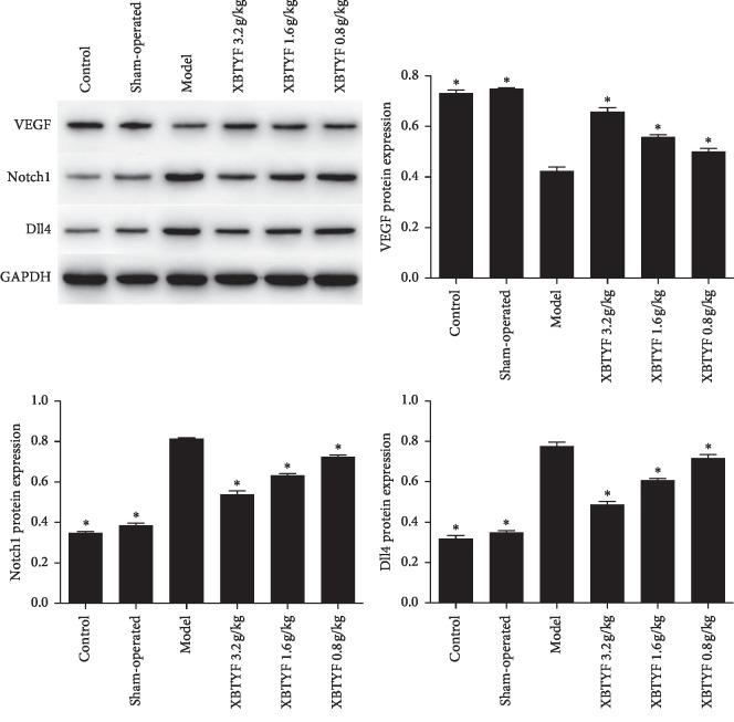 Protein expression of VEGF, Notch1, and Dll4 was measured by western blot. Compared with the model group, the expression of Notch1 and Dll4 was significantly decreased by XBTYF at all doses (3.2, 1.6, and 0.8 g/kg), whereas that of VEGF was increased. Values represent the average of three replicates, ∗ P